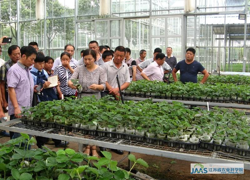 草莓育苗可有多种方法,最理想的繁育方法是组织培养,繁育无毒苗子,但